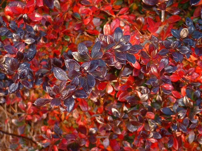 Berberis x media Red jewel - Epine-vinette