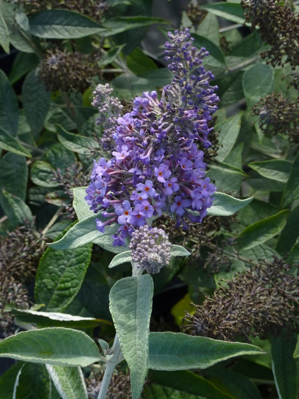Buddleia Lochinch - Buddleia - Arbuste aux papillons