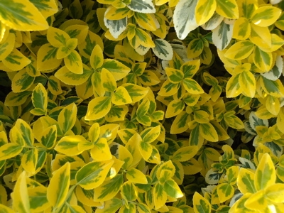 Euonymus  fortunei Emerald\'n Gold