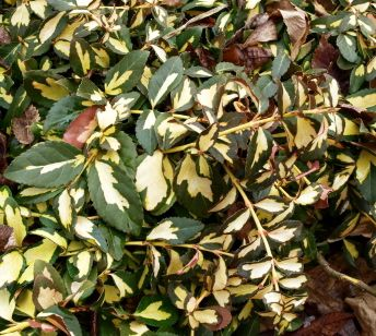 Euonymus fortunei Sunspot