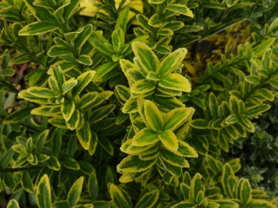 euonymus japonicus microphyllus aureovariegatus fusain du japon sur le mur v g tal. Black Bedroom Furniture Sets. Home Design Ideas