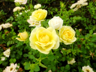 Rosa The Fairy Yellow - Rosier paysager The Fairy Yellow
