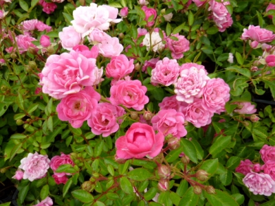 Rosa Pretty Fairy - Rosier paysager Pretty Fairy