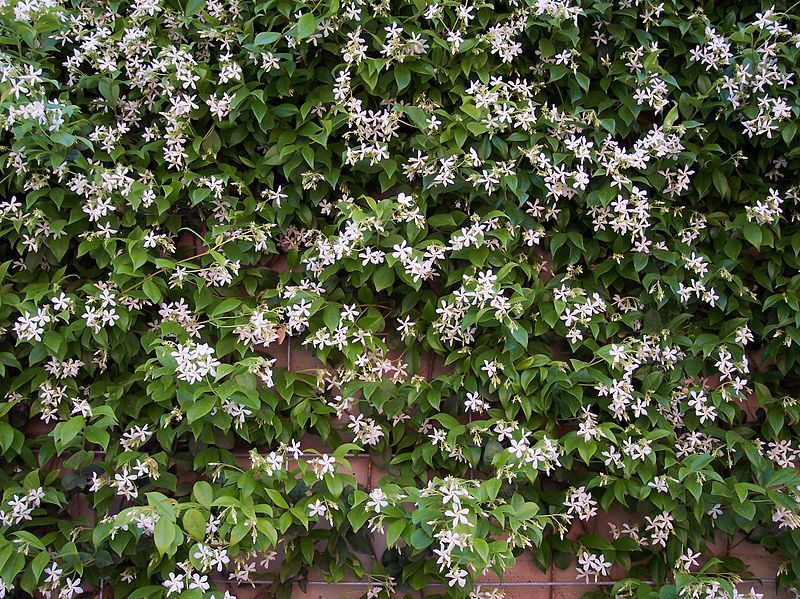 trachelospermum jasminoides jasmin toil jasmin persistant faux jasmin sur le mur v g tal. Black Bedroom Furniture Sets. Home Design Ideas
