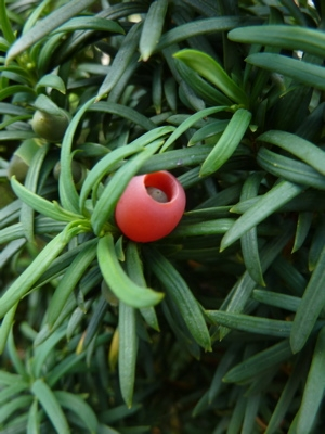 Taxus baccata - If commun