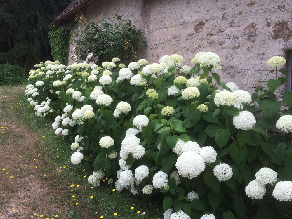 hortensie annabell 1 hydrangea arborescens annabelle 4 inch starter plant 25 best ideas about. Black Bedroom Furniture Sets. Home Design Ideas
