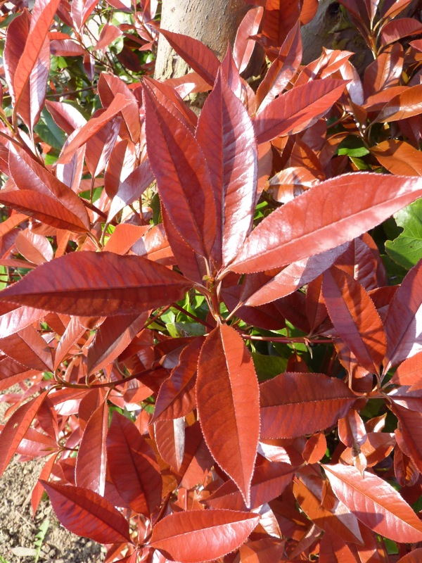 Kit haie persistante Photinia
